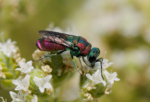 ecocides:  A ruby-tailed wasp (Pseudospinolia marqueti) feeding on Cretan oregano flowers, Lesbos, Greece | image by Nick Upton