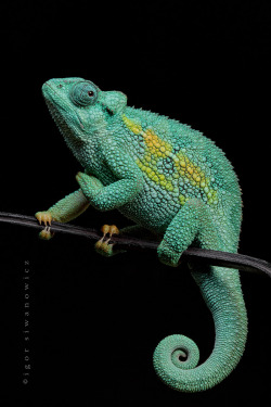 Tanzanian Rudis Chameleon; adult male measures only some 7 cm, tni. by Igor Siwanowicz