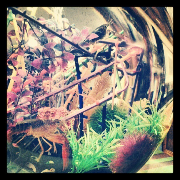 Two #crawfish in our #biorb. (Taken with Instagram)