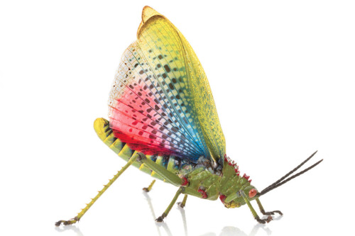gaypocalypse:  Toxic Mozambican grasshoppers flash their wings to scare off predators. // Piotr Naskrecki (x)