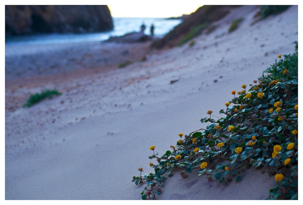 Yellow Flowers Growing on Pfeiffer Beach. Big Sur, California. August 2012.