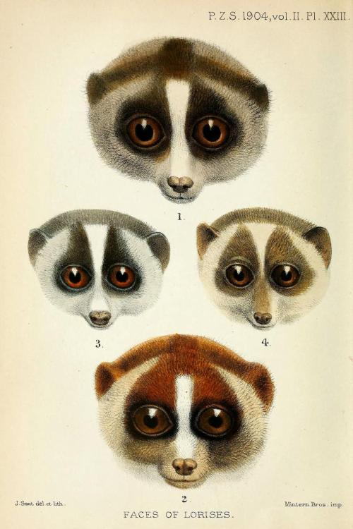 "biomedicalephemera:  Faces of Lorises 1. Nycticebus tardigradus malayanus (Nycticebus coucang spp.- Sunda slow loris. Note: possibly Nycticebus javanicus - the Javan slow loris)2. Nycticebus tardigradus hilleri (Nycticebus coucang coucang - the Sunda slow loris, type species)3. Loris gracilis typicus (Loris lydekkerianus lydekkerianus - Gray slender loris)4. Loris gracilis zeylanicus (Loris tardigradus - Red slender loris) All lorises are endangered or vulnerable due to the pet trade and their use in traditional ""medicine"". While these small and nocturnal critters tend to be much more adaptable when humans encroach upon their habitat than other species of primate (making due in the trees humans transplant as opposed to their native foliage, and dealing with the human presence in stride, for example), they're still all too often thought to ""cure"" various ailments with their body parts (especially the slow lorises), and traded as pets throughout their native habitat of Southeast Asia, and when they're successfully smuggled to the rest of the world. Seriously, people. Their cuteness is so much cuter in the wild. Lorises are freaking adorable, and the hunting strategies of the various species and subspecies are so varied and fascinating that they deserve to stay in a protected natural habitat. I mean, among other reasons to preserve them, obviously…they're just such cool little omnivores! Proceedings of the Zoological Society of London, 1904."