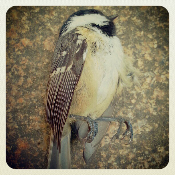 Parus Major dead in the street…  #berlin #photography #street  (Taken with Instagram at Arnimplatz)