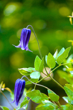2012 Clematis #1 by Yorkey&Rin on Flickr.