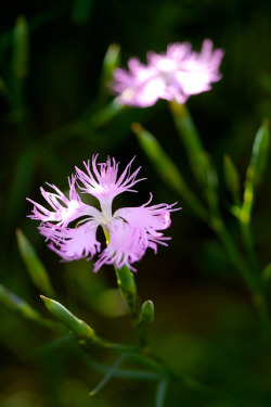 Dianthus by Yorkey&Rin on Flickr.