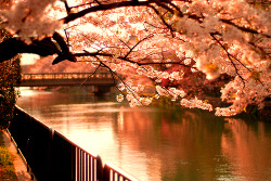 bluepueblo:  Cherry Blossom River, Sakura, Japan photo via besttravelphotos