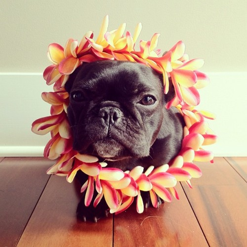 "thefluffingtonpost:  Meet Trotter, the Most Fashionable Pup on Instagram Mobile photo network Instagram is known for fashion photos and pet pics, but the best of both worlds are married by Trotter, a San Francisco Frenchie who knows how to step out in style. She prefers to work with only one photographer, Sonya Yu. ""Sonya really captures Trotter's essence,"" says Randy Zed, the pup's longtime publicist. ""When it comes to high dog fashion, there's really no one else on the scene today."" Via Sonya Yu."