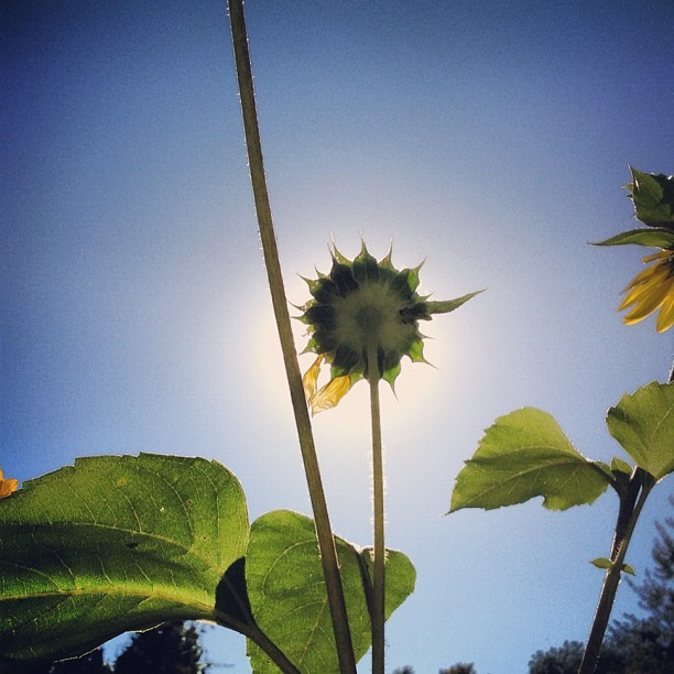 <sunday><morn> Sunrise.Suddenly.Sunflower </morn><sunday> (Taken with Instagram)