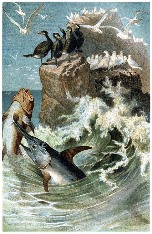 oldbookillustrations:  Swordfish. From Brehms Tierleben (Brehm's animal life) vol. 8, under the direction of Alfred Edmund Brehm, Leipzig & Vienna, 1900. (Source: archive.org)