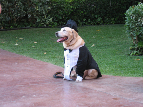 dogswearinghats:  Top Hat and Tails (by btwashburn)