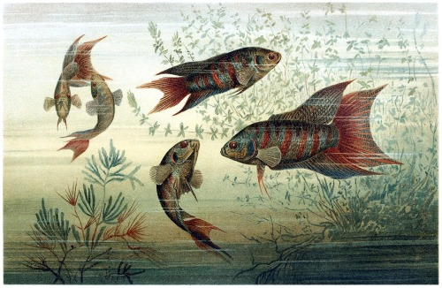 oldbookillustrations:  Paradise fish (Macropodus opercularis). From Brehms Tierleben (Brehm's animal life) vol. 8, under the direction of Alfred Edmund Brehm, Leipzig & Vienna, 1900. (Source: archive.org)