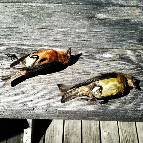 Check out these sweet dead birds at my grandma's house. (Taken with Instagram)
