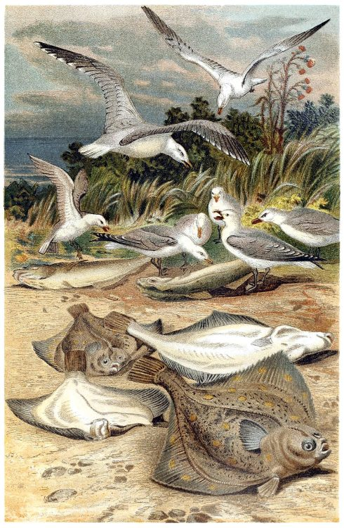 oldbookillustrations:  European plaice (Pleuronectes platessa). From Brehms Tierleben (Brehm's animal life) vol. 8, under the direction of Alfred Edmund Brehm, Leipzig & Vienna, 1900. (Source: archive.org)