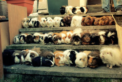 guineapiggies:  (All 44 of my Guinea pigs II by *Clerdy)