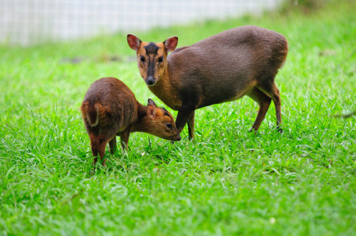 animals-animals-animals:  Muntjac Deer (by 家達 許)