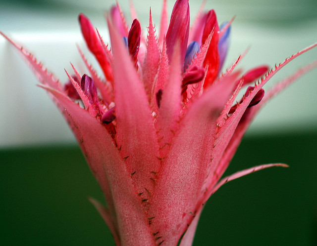 Aechmea fasciata. by maya_dragonfly on Flickr.