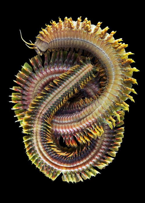 getouterspace:  Polychaeta worm from the abyss