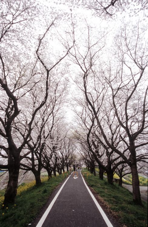 surferdude182:  Tunnel of Cherry Blossom Trees by huzu1959
