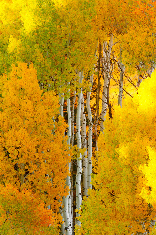 petitpoulailler:  bluepueblo: Birch Tree Autumn, Crested Butte, CO, USA; photo via besttravelphotos