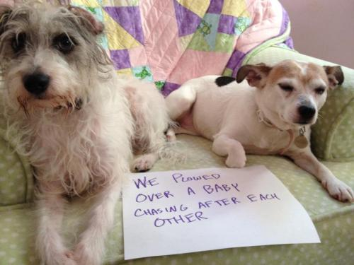 dogshaming:  They plowed over our 10 month old while playing - then stole part of her dinner shortly after!!!