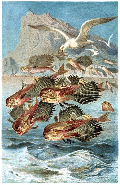 oldbookillustrations:  Flying gurnard (Dactylopterus volitans). From Brehms Tierleben (Brehm's animal life) vol. 8, under the direction of Alfred Edmund Brehm, Leipzig & Vienna, 1900. (Source: archive.org)