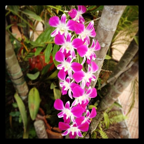 #Honduras Orchids at my parents' garden. #flowers #flores #iphonography  (Taken with Instagram at Parent's Place)