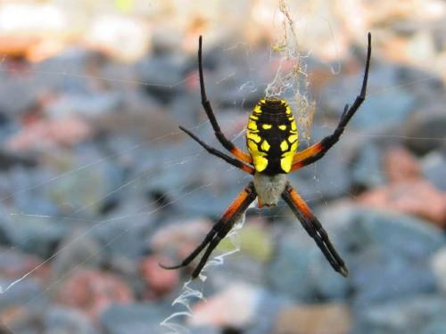 My mom took this photo. It is a black and yellow argiope. A common garden spider. Completely harmless to humans, but this particular garden spider looks like it has a skull on its back.