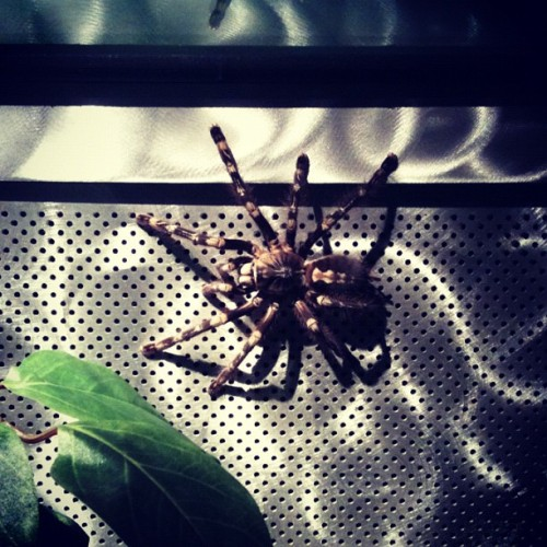 #Spider #Tarantula (Taken with Instagram at Spiders Alive)