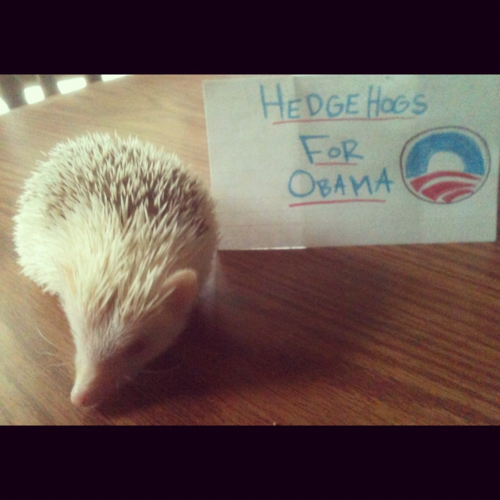 ginger-gal-is-in-hiding submitted: My hedgehog (named Joe Biden) is all in for Obama/Biden 2012.