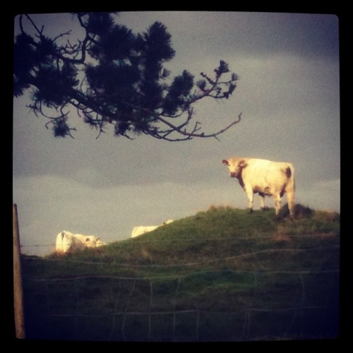Just hanging out with the #cows in #Rennesøy with @ellilille. #Norway #aroundtheworldtour2012 (Taken with Instagram at Rennesøy, Norge)