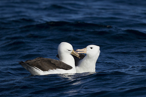Black-Browed AlbatrossCallocephalon Photography