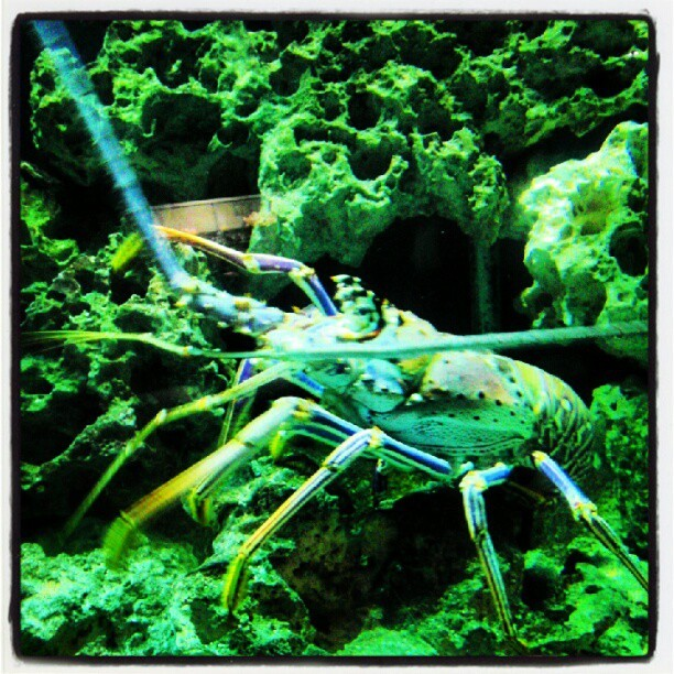 This thing is HUGE. #spinylobster (Taken with Instagram at Mote Marine Laboratory & Aquarium)