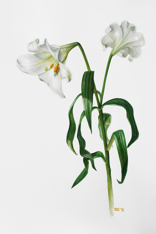 oliverscarlin:  Lilium candidum ~ Watercolour on paper (sold)