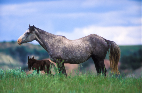 theperceiverofchange:  M4583 - Mare and foal. ©Jerry Mercier by jerry mercier on Flickr. A mare with her new born foal. Theodore Roosevelt National Park, North Dakota