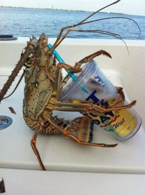 collegehumor:  Lobster Drinks Beer He's best buds with this guy.