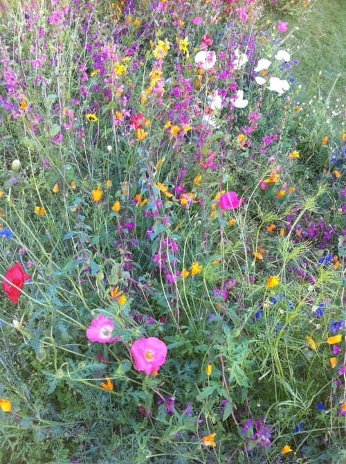 burlcountry:  Wildflower bonanza.