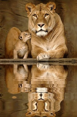 azulejo-xo:  Nothing gets past a Momma lion.