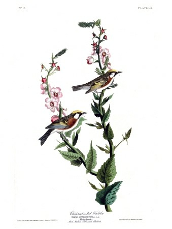 Plate 59 of The Birds of America by John Audubon, the Chestnut-sided Warbler.
