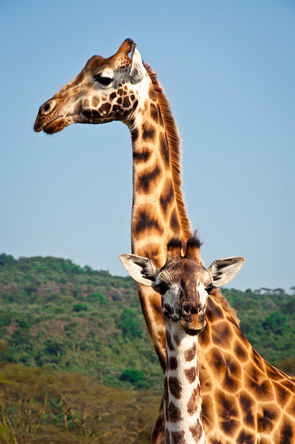 Rothschild Giraffes by terbeck on Flickr.