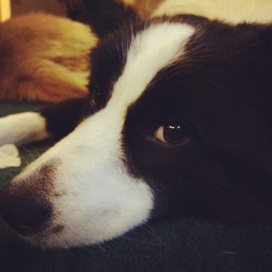 #bordercollie #dog #dogs #doggies #collie #black #white #puppydog #puppy #puppies #cutie #pretty #precious #paws #pet #pets #animal #animals #claws #nails