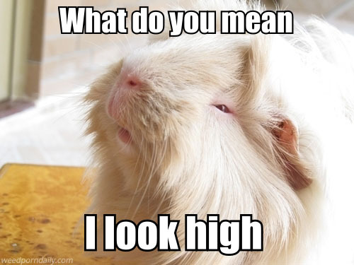 weedporndaily:  High Hamster