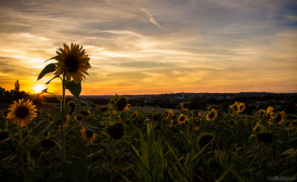 Tallest Sunflower in the Bunch // 02 09 12 (by Manadh)