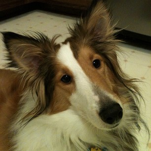 Gotta #love the #head #tilt!!! #sheltie #sheepdog #shetlundsheepdog #herding #dog #dogs #dogsrule #k9 #fun #fur #furry #fuzzy #mansbestfriend #pet #pets #petsrule #petsofinstagram #instagram #cute #cuddly #adorable #handsome