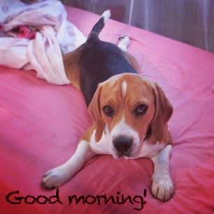 #oliver #beagle #ilovemybeagle #buongiorno #goodmorning #dogs #pets #editoftheday #photooftheday