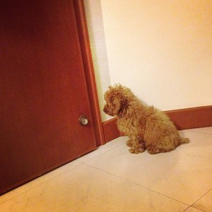 #waiting #door #dogs #pets #poodles #toypoodle #toy #furry #cute #instadog
