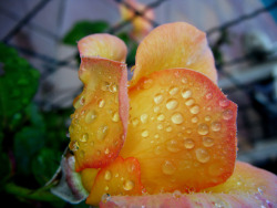 Drops rose by TeresalaLoba via TeresalaLoba