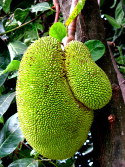 jackfruit from our front yard