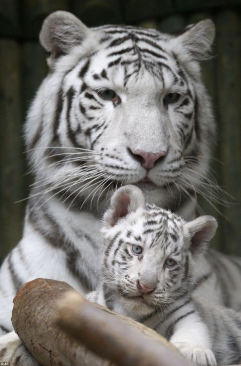tumblr m9u25fisDD1qzya49o2 500 Rare white Bengal tiger triplets born in Czech zoo