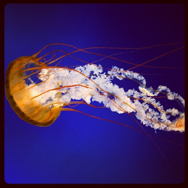 #sea #jellyfish #underwater #animal #animalwater (Taken with Instagram)
