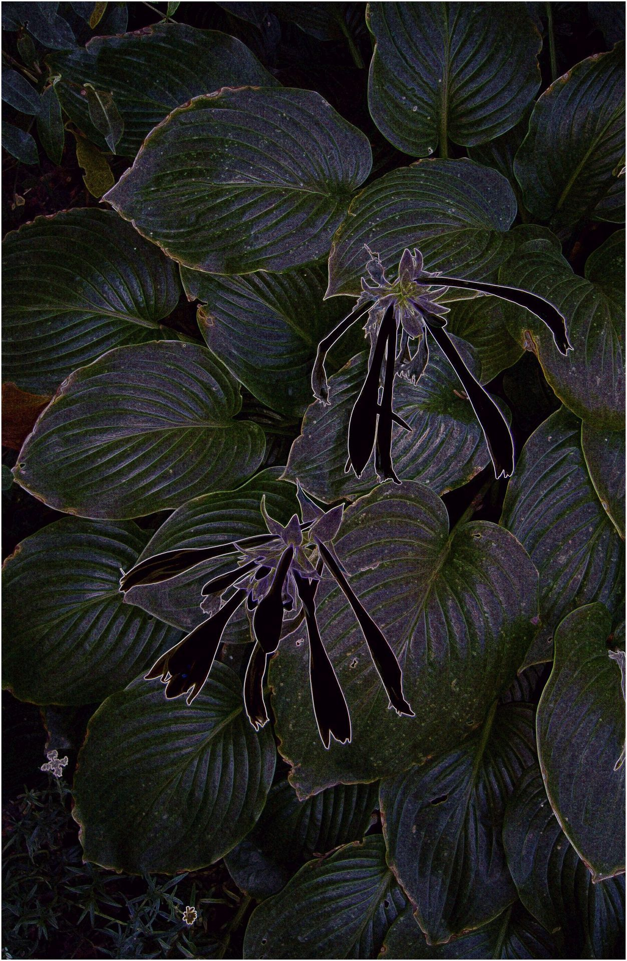 By yama-bato Ming Treasure (Hosta) 9.04.12